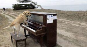cães piano